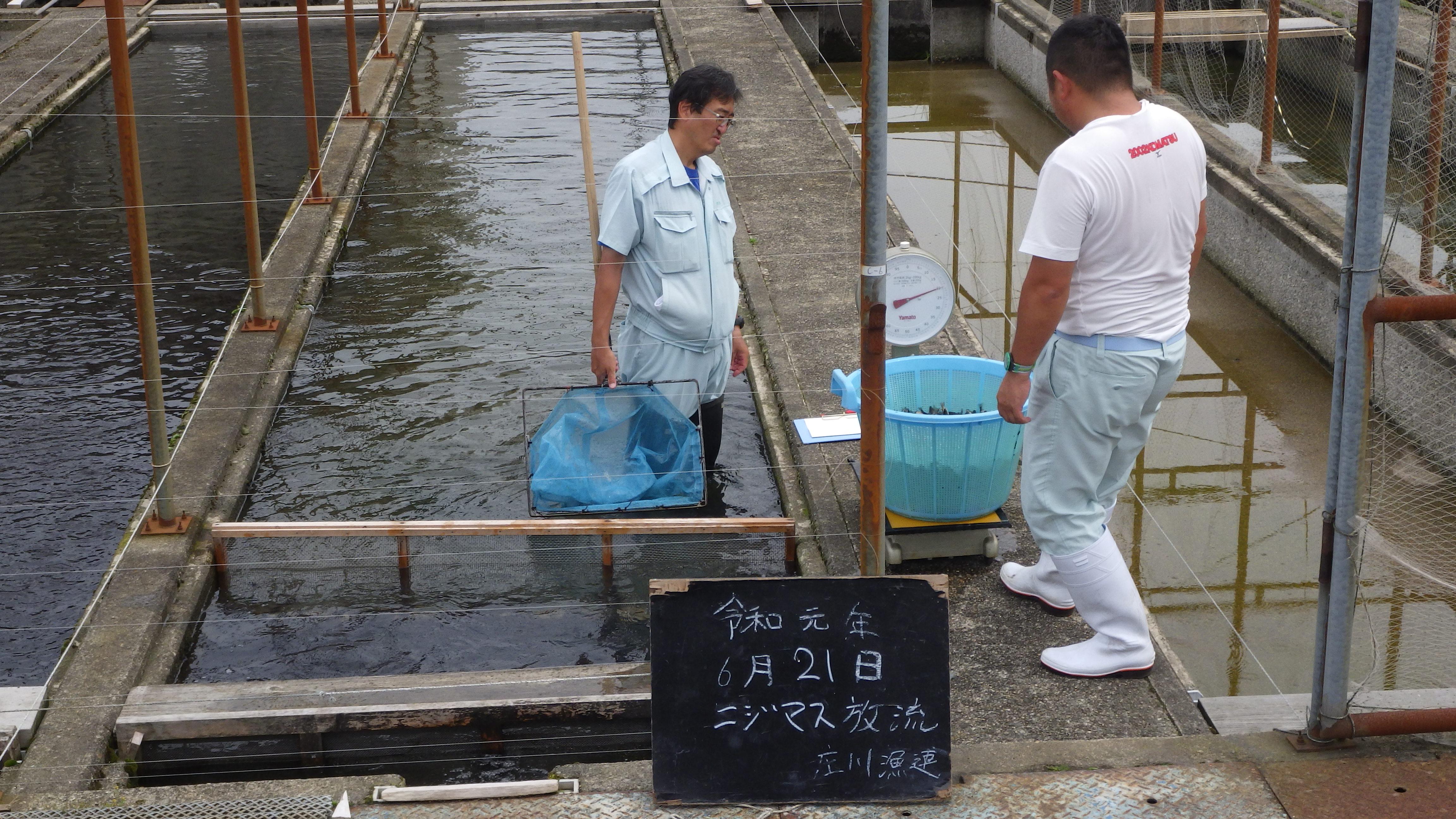 ニジマス放流 14号水域 和田川