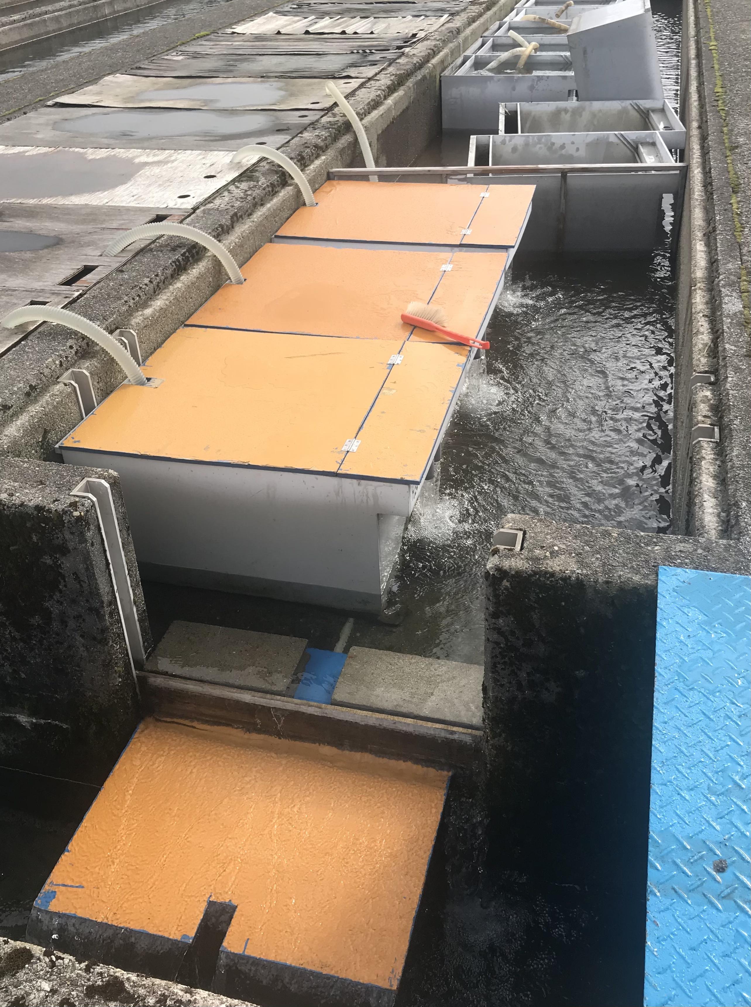 サケ稚魚場内無給餌流下放流