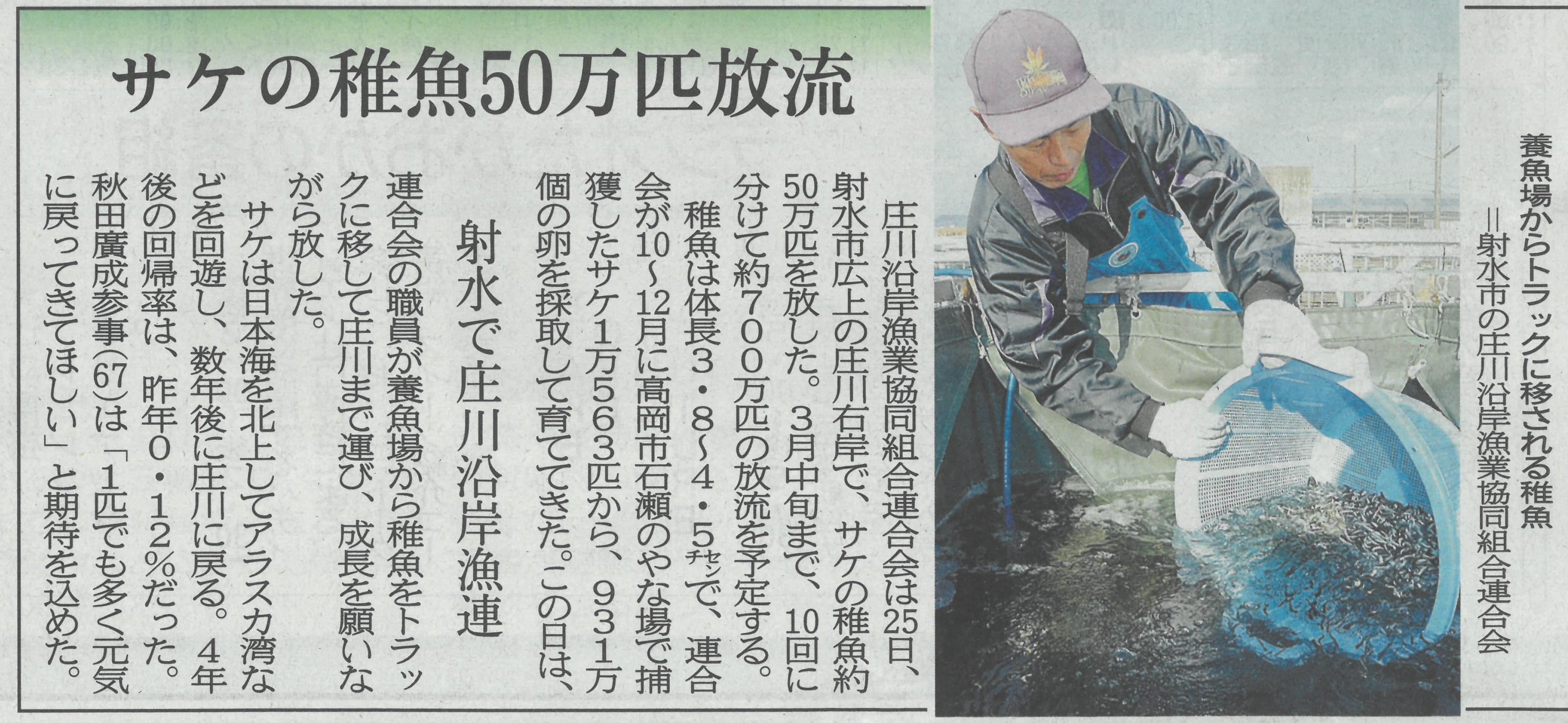 サケ稚魚放流(新聞記事)
