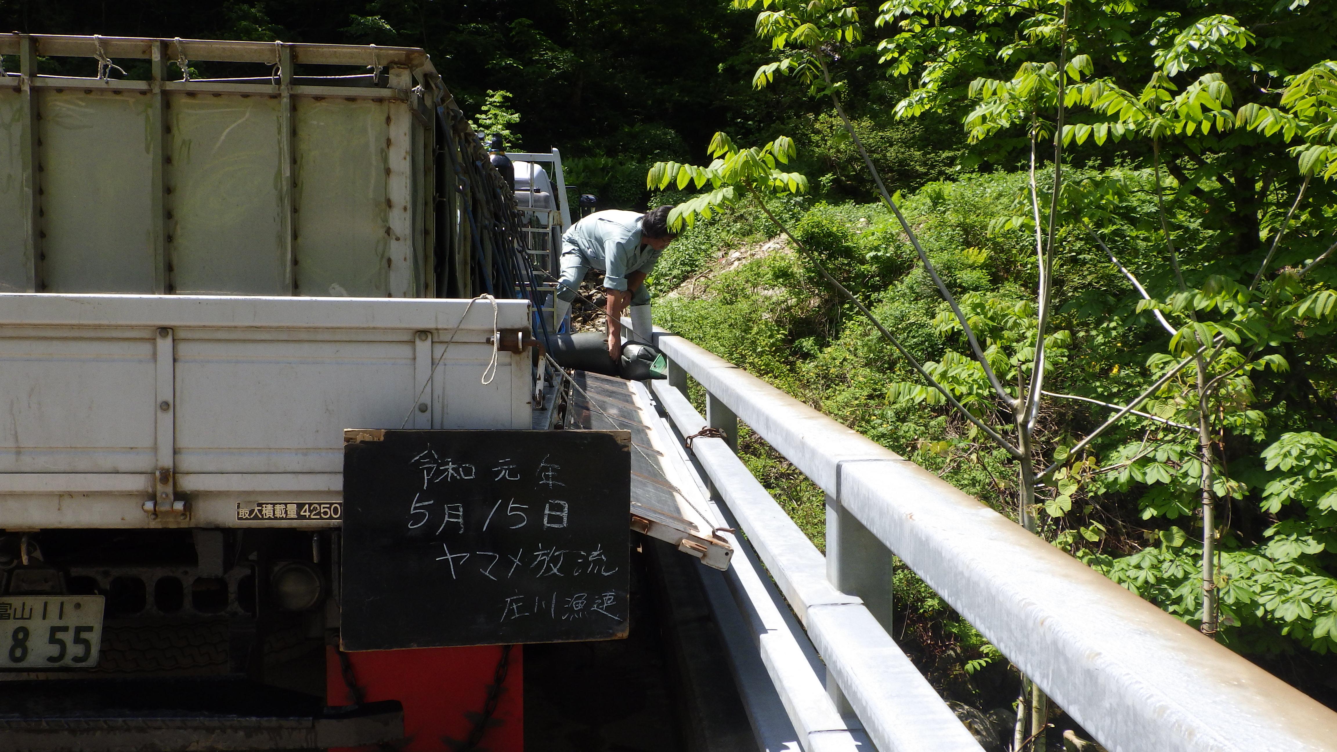 ヤマメ稚魚放流 15号水域南砺市小瀬谷地先
