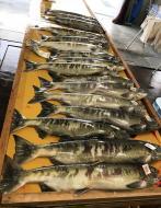 サケ親魚捕獲、採卵