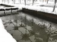 大雪 サケ飼育状況