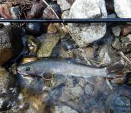 渓流 利賀川の釣果