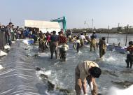 鮭の日  庄川鮭まつり