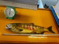 本日の鮭 アユ漁期終了のお知らせ